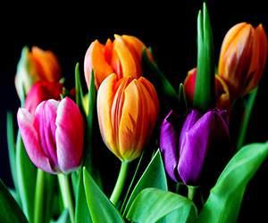Tulpen bei Blumenonline