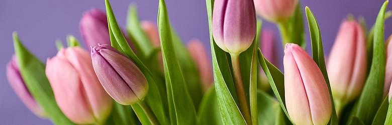 Tulpen bei Euroflorist
