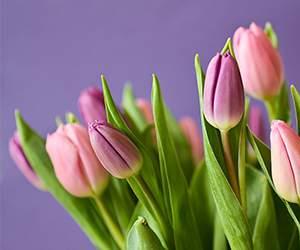 Tulpen bei FloraPrima
